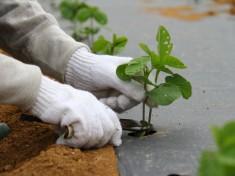 枝豆の間引き作業