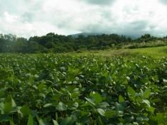 弘前市岩木山麓にある枝豆畑