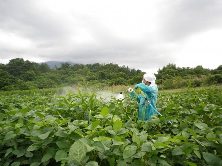 枝豆(毛豆)の防虫作業と草取り